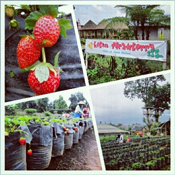 Kebun Strawberry Lembang (nisbroth)